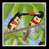 Image: Fiery Billed Aracari