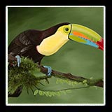 Image: Keel Billed Toucan